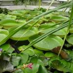 Gradina Botanica Jibou - Nuferi