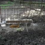 Gradina Botanica Jibou - pui de caprioara